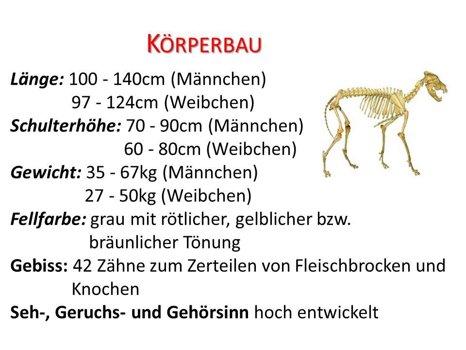 K ÖRPERBAU Länge: 100 - 140cm (Männchen) 97 - 124cm (Weibchen) Schulterhöhe: 70 - 90cm (Männchen) 60 - 80cm (Weibchen) Gewicht: 35 - 67kg (Männchen) 27 - 50kg (Weibchen) Fellfarbe: grau mit rötlicher, gelblicher bzw.