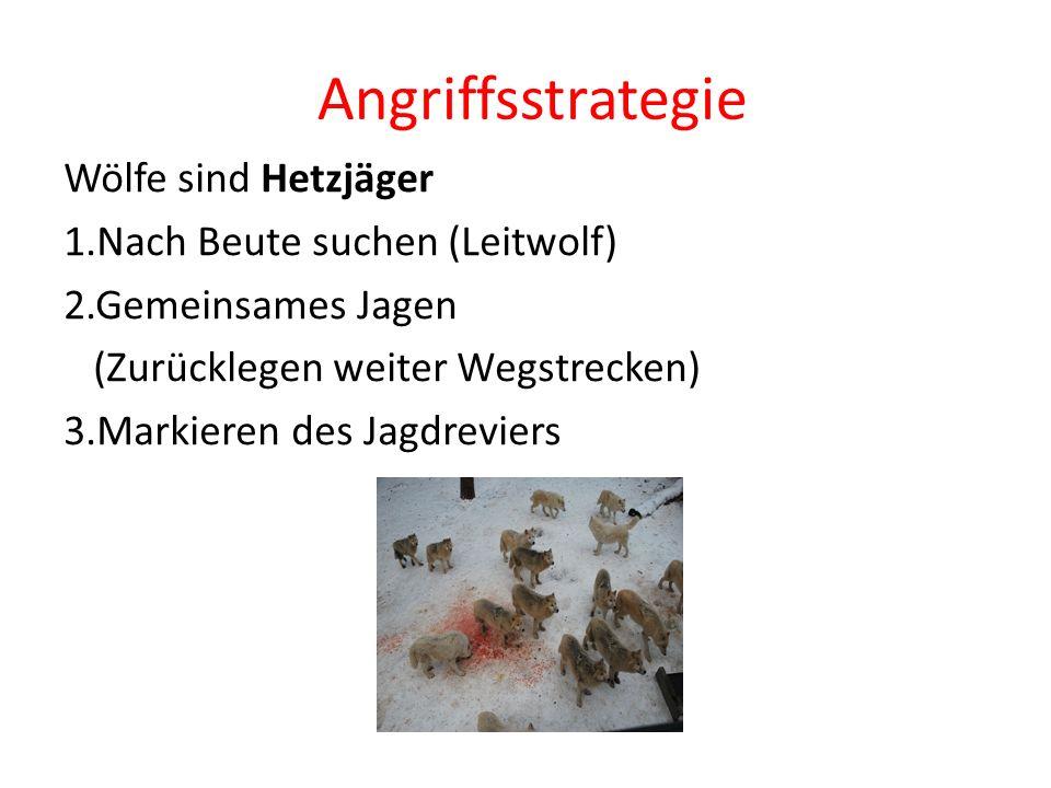 Angriffsstrategie Wölfe sind Hetzjäger 1.Nach Beute suchen (Leitwolf) 2.Gemeinsames Jagen (Zurücklegen weiter Wegstrecken) 3.Markieren des Jagdreviers