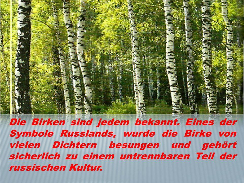 Die Birken sind jedem bekannt. Eines der Symbole Russlands, wurde die Birke von vielen Dichtern besungen und gehört sicherlich zu einem untrennbaren T