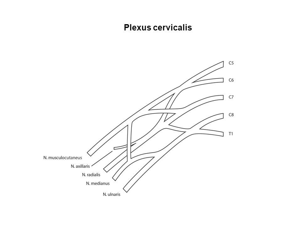 Plexus cervicalis Seite 38
