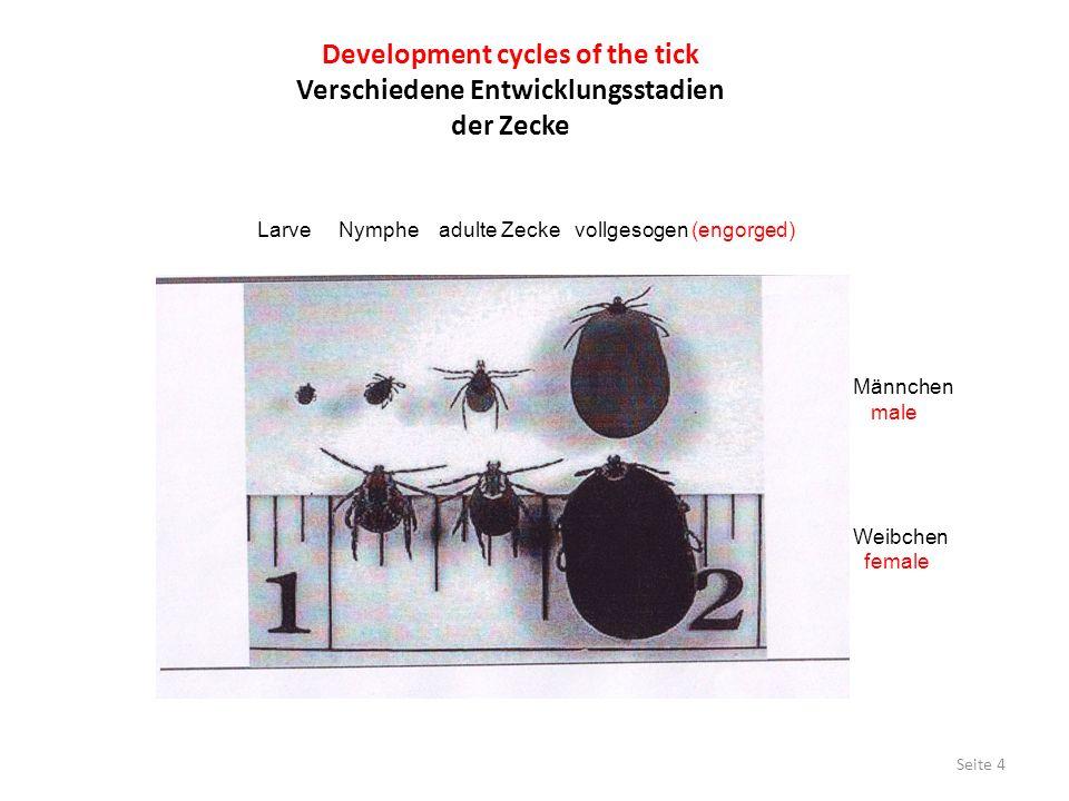 Development cycles of the tick Verschiedene Entwicklungsstadien der Zecke Larve Nymphe adulte Zecke vollgesogen (engorged) Männchen male Weibchen fema