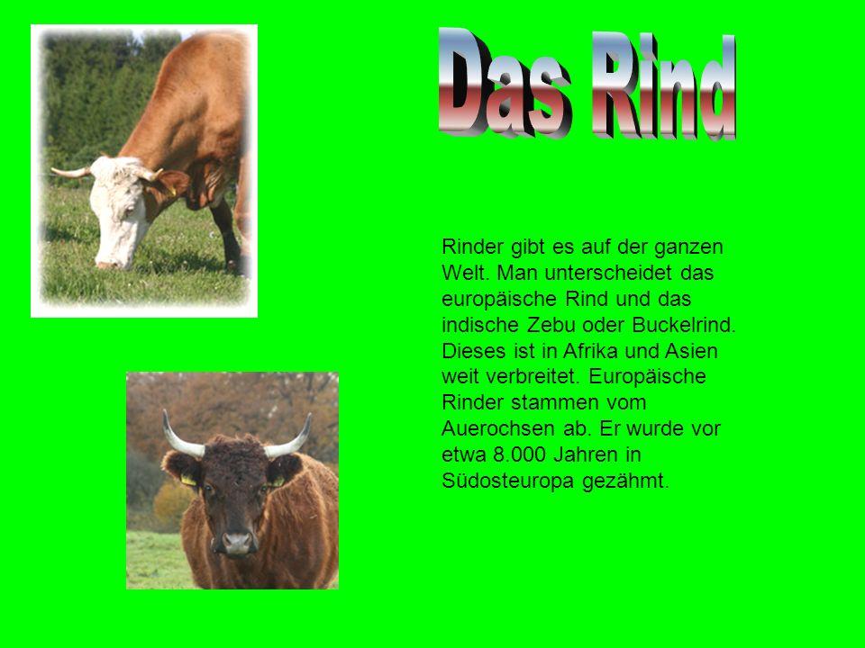 Rinder gibt es auf der ganzen Welt.