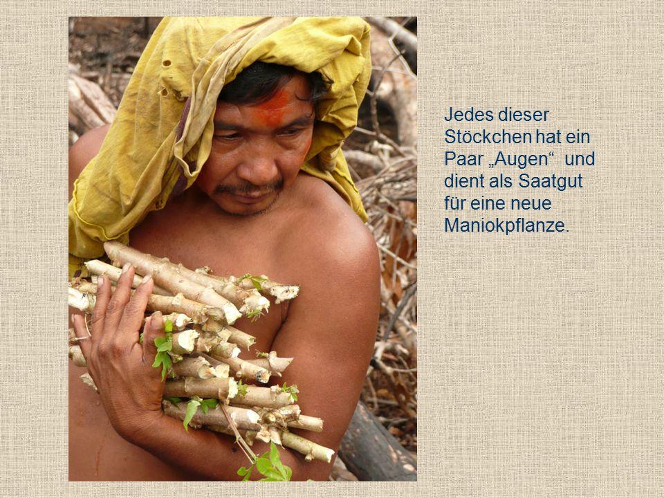 """Jedes dieser Stöckchen hat ein Paar """"Augen und dient als Saatgut für eine neue Maniokpflanze."""