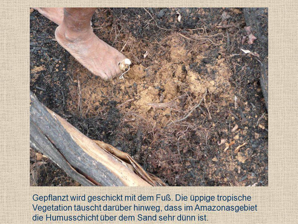 Gepflanzt wird geschickt mit dem Fuß.