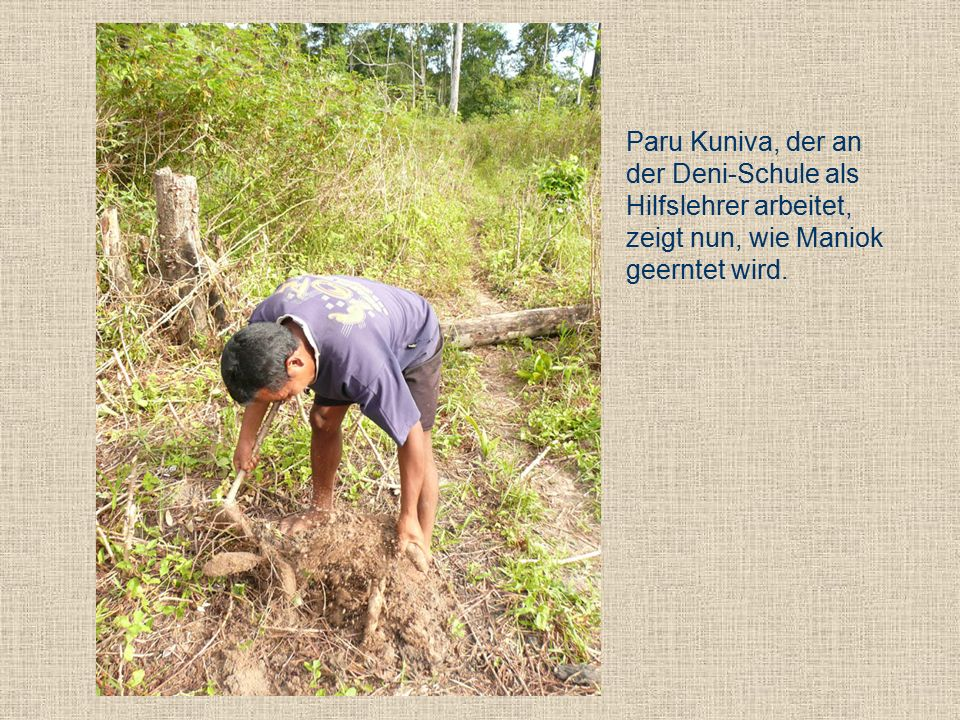 Paru Kuniva, der an der Deni-Schule als Hilfslehrer arbeitet, zeigt nun, wie Maniok geerntet wird.