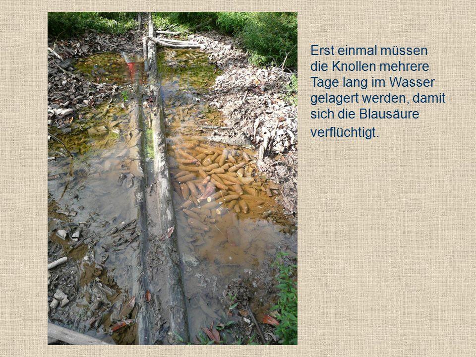 Erst einmal müssen die Knollen mehrere Tage lang im Wasser gelagert werden, damit sich die Blausäure verflüchtigt.