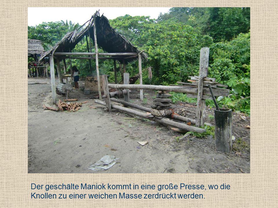 Der geschälte Maniok kommt in eine große Presse, wo die Knollen zu einer weichen Masse zerdrückt werden.