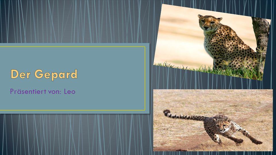Das Gepardenfell hat eine goldgelbe Grundfarbe, die Bauchseite ist meist deutlich heller.