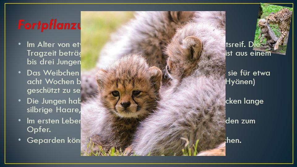 Im Alter von etwa drei Jahren ist ein Gepard geschlechtsreif.