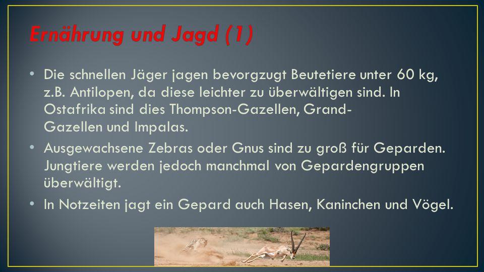 Geparde pirschen sich in der Regel 1 bis 2-mal pro Tag auf mindestens 50 bis 100 m an ihre Beutetiere heran, um sie dann mit sehr hoher Geschwindigkeiten zu verfolgen.