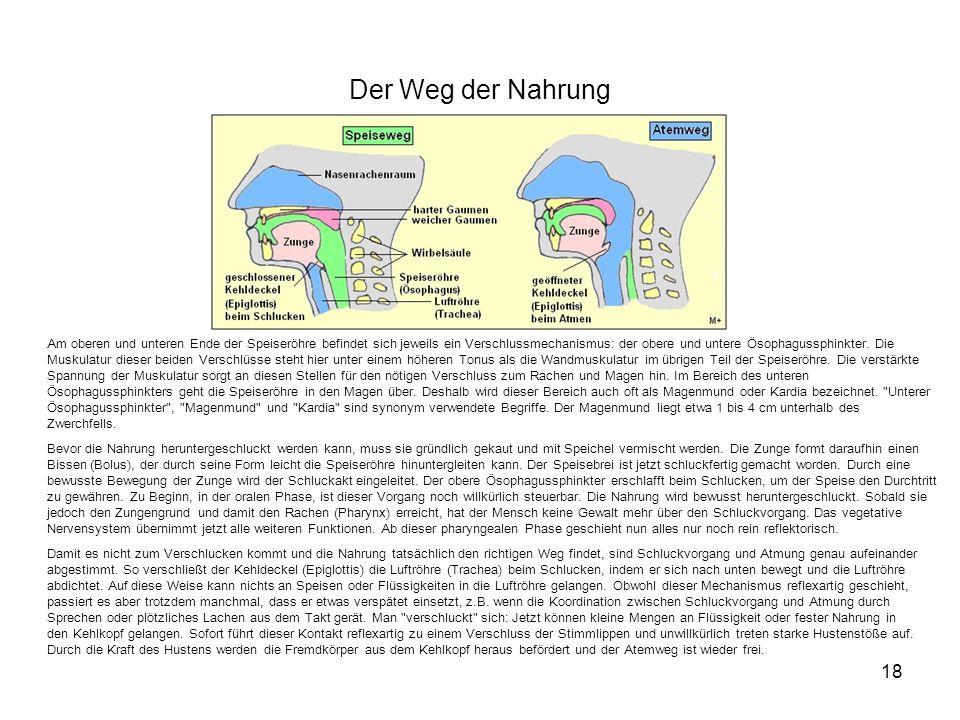 Der Weg der Nahrung 18 Am oberen und unteren Ende der Speiseröhre befindet sich jeweils ein Verschlussmechanismus: der obere und untere Ösophagussphin