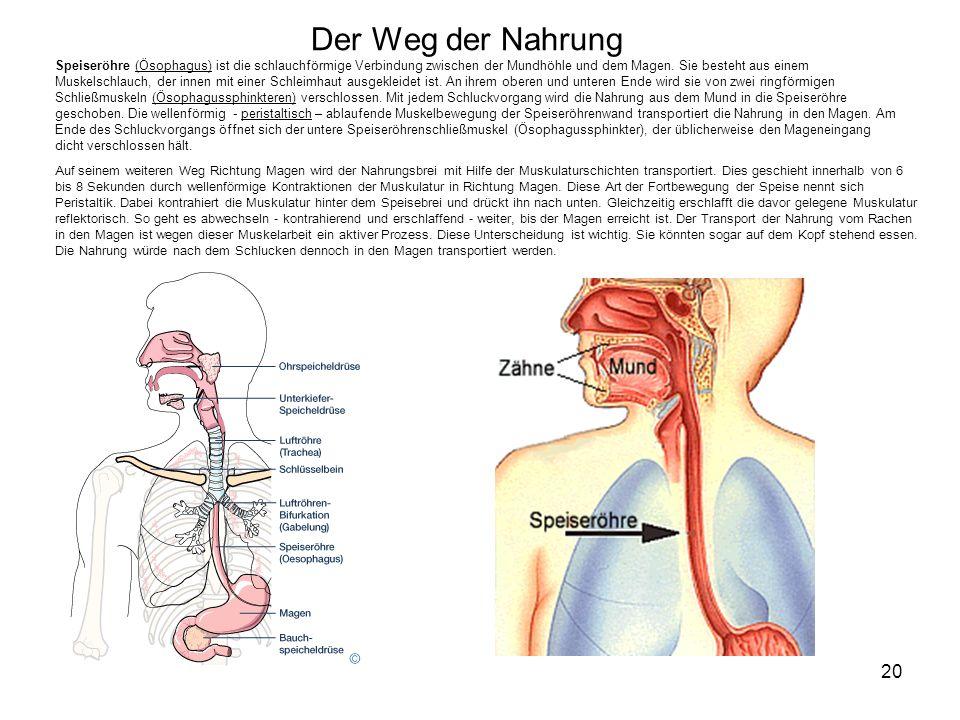 20 Der Weg der Nahrung Speiseröhre (Ösophagus) ist die schlauchförmige Verbindung zwischen der Mundhöhle und dem Magen. Sie besteht aus einem Muskelsc