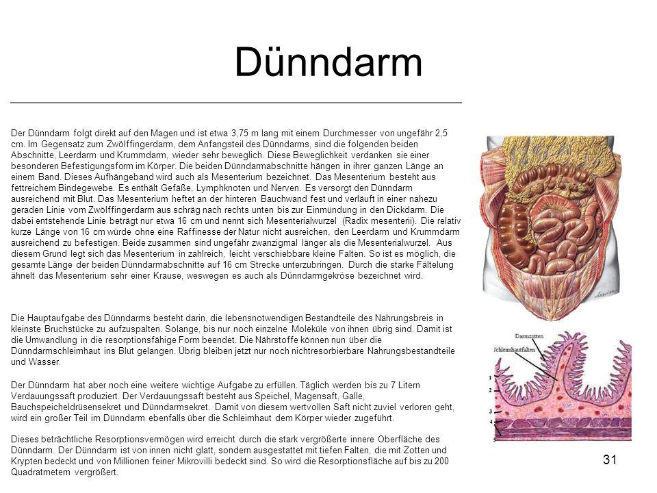 Dünndarm 31 Der Dünndarm folgt direkt auf den Magen und ist etwa 3,75 m lang mit einem Durchmesser von ungefähr 2,5 cm. Im Gegensatz zum Zwölffingerda