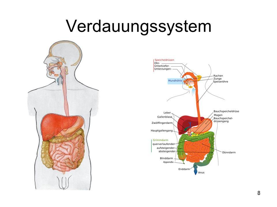Speiseröhre (Ösophagus) 19 Die Speiseröhre ist der Transport- und Verbindungsweg zwischen Rachen und Magen.