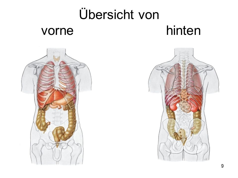 30 Dünndarm (Intestinum tenue) Leerdarm (Jejunum) und Krummdarm (Ileum) Der Dünndarm besitzt bei einer Länge von etwa 3,75 m in vivo in tonisiertem Zustand eine absorbierende Fläche von ca.