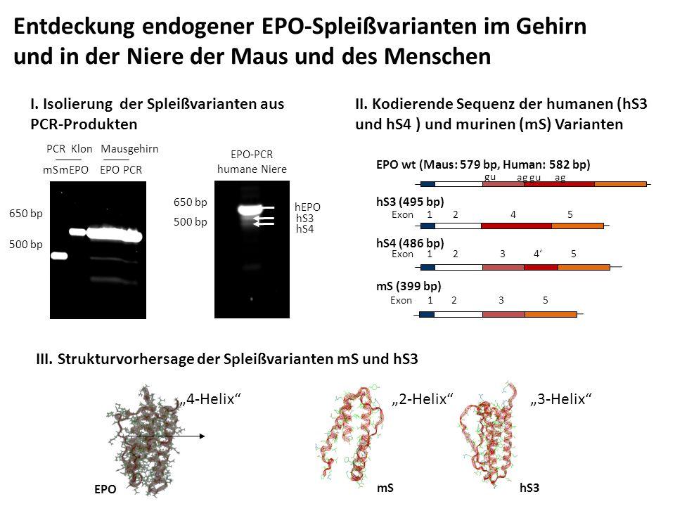 Entdeckung endogener EPO-Spleißvarianten im Gehirn und in der Niere der Maus und des Menschen mEPOmS Mausgehirn 650 bp 500 bp PCR Klon EPO PCR 650 bp