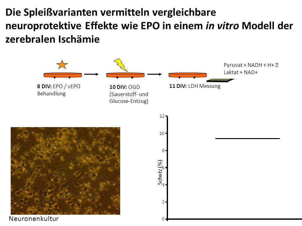 Die Spleißvarianten vermitteln vergleichbare neuroprotektive Effekte wie EPO in einem in vitro Modell der zerebralen Ischämie 8 DIV: EPO / vEPO Behandlung 10 DIV: OGD (Sauerstoff- und Glucose-Entzug) 11 DIV: LDH Messung Pyruvat + NADH + H+  Laktat + NAD+ Schutz (%) Neuronenkultur