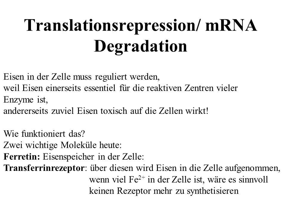 Translationsrepression/ mRNA Degradation Eisen in der Zelle muss reguliert werden, weil Eisen einerseits essentiel für die reaktiven Zentren vieler Enzyme ist, andererseits zuviel Eisen toxisch auf die Zellen wirkt.