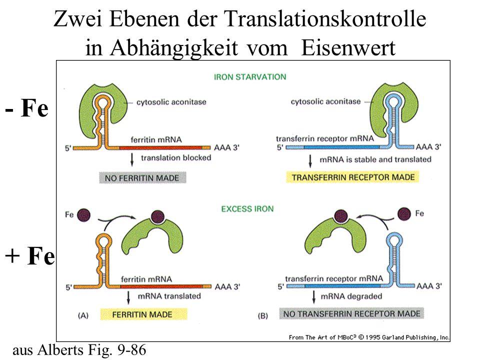 Zwei Ebenen der Translationskontrolle in Abhängigkeit vom Eisenwert aus Alberts Fig. 9-86 - Fe + Fe