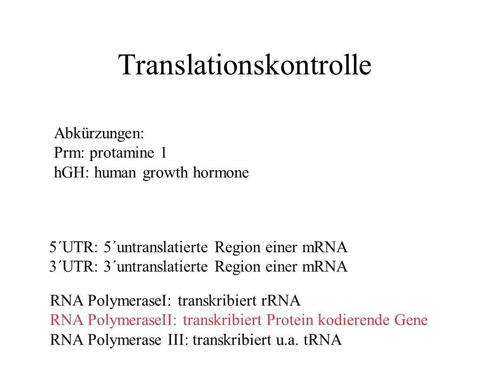 Translationskontrolle Abkürzungen: Prm: protamine 1 hGH: human growth hormone 5´UTR: 5´untranslatierte Region einer mRNA 3´UTR: 3´untranslatierte Region einer mRNA RNA PolymeraseI: transkribiert rRNA RNA PolymeraseII: transkribiert Protein kodierende Gene RNA Polymerase III: transkribiert u.a.