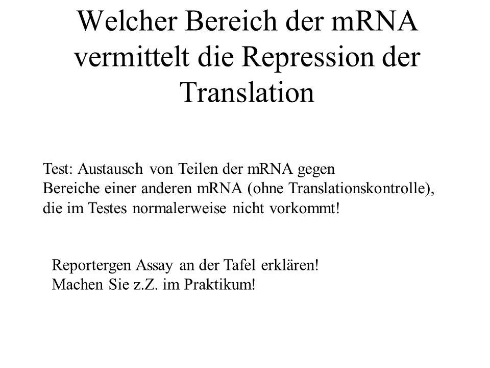 Welcher Bereich der mRNA vermittelt die Repression der Translation Test: Austausch von Teilen der mRNA gegen Bereiche einer anderen mRNA (ohne Translationskontrolle), die im Testes normalerweise nicht vorkommt.