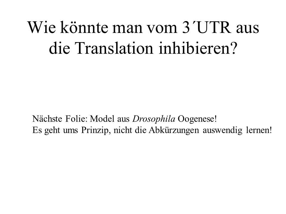 Wie könnte man vom 3´UTR aus die Translation inhibieren.