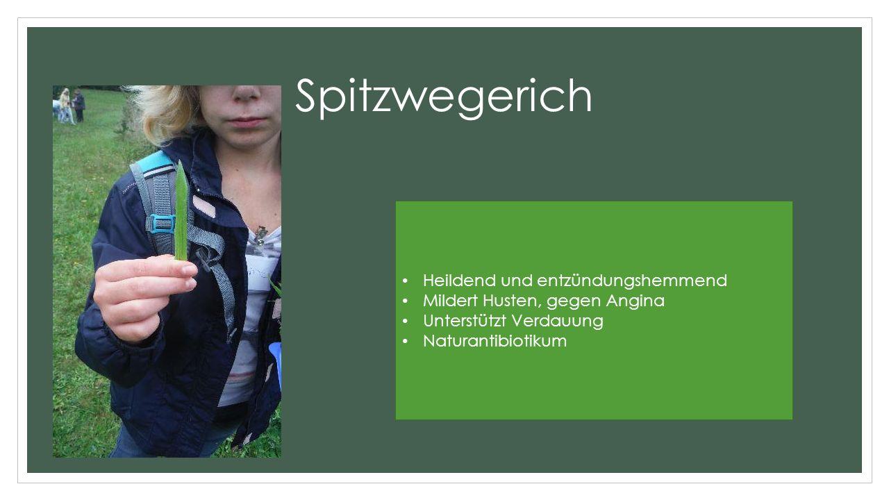 Spitzwegerich Heildend und entzündungshemmend Mildert Husten, gegen Angina Unterstützt Verdauung Naturantibiotikum