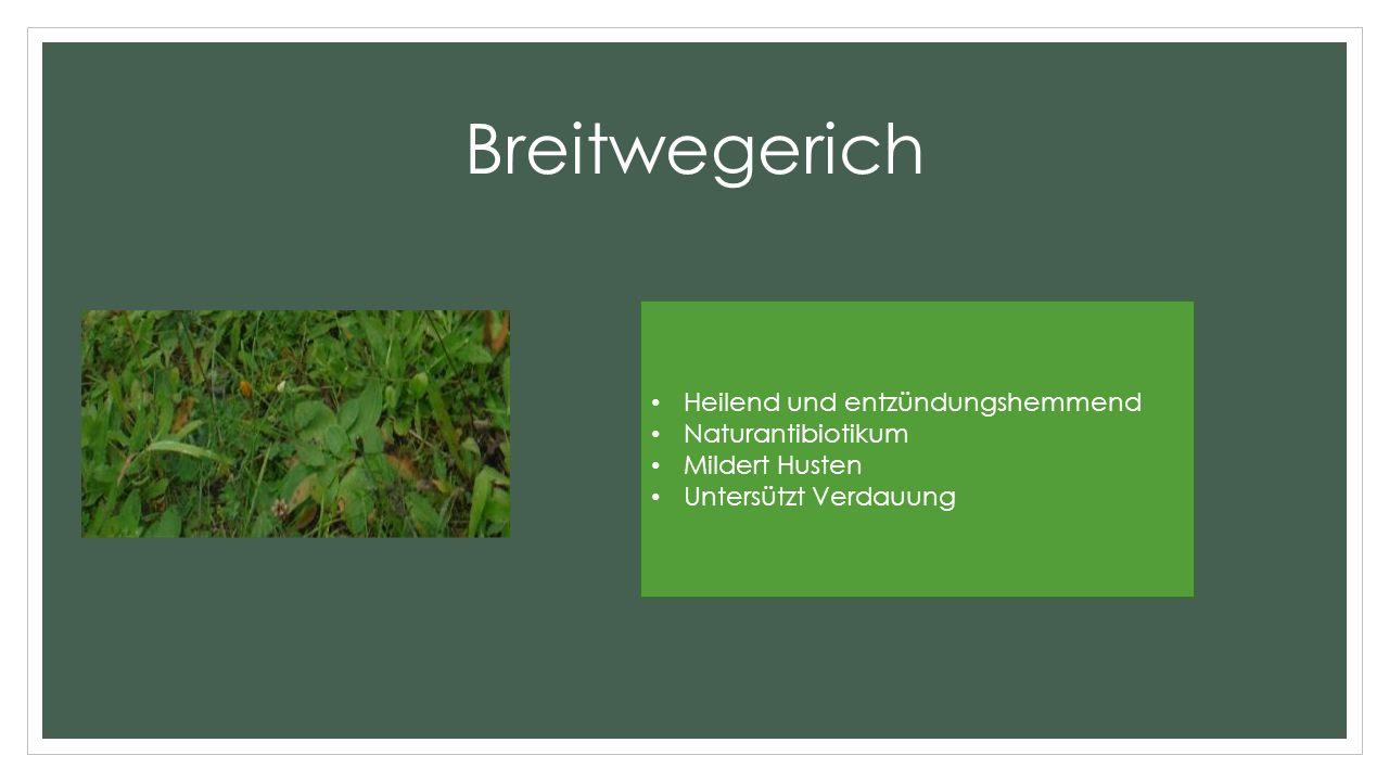 Breitwegerich Heilend und entzündungshemmend Naturantibiotikum Mildert Husten Untersützt Verdauung