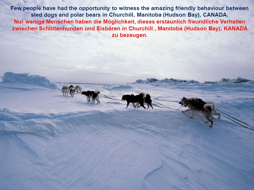 Few people have had the opportunity to witness the amazing friendly behaviour between sled dogs and polar bears in Churchill, Manitoba (Hudson Bay), CANADA.