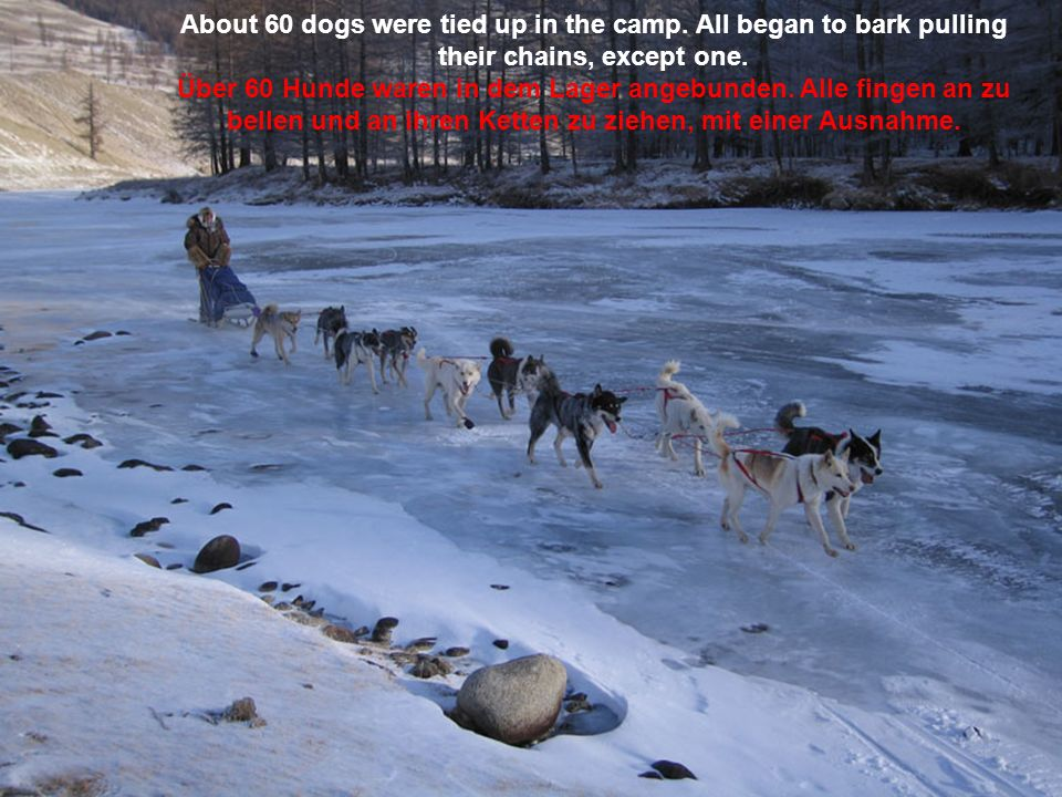 About 60 dogs were tied up in the camp.All began to bark pulling their chains, except one.