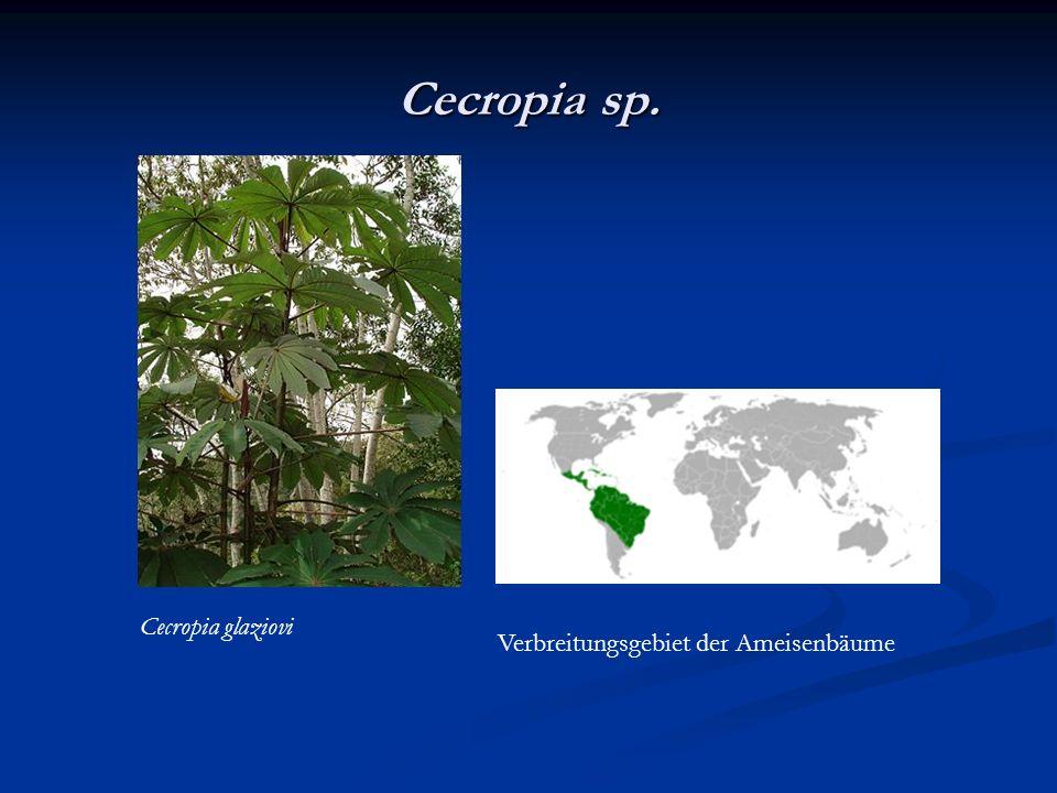 Cecropia sp. Cecropia glaziovi Verbreitungsgebiet der Ameisenbäume