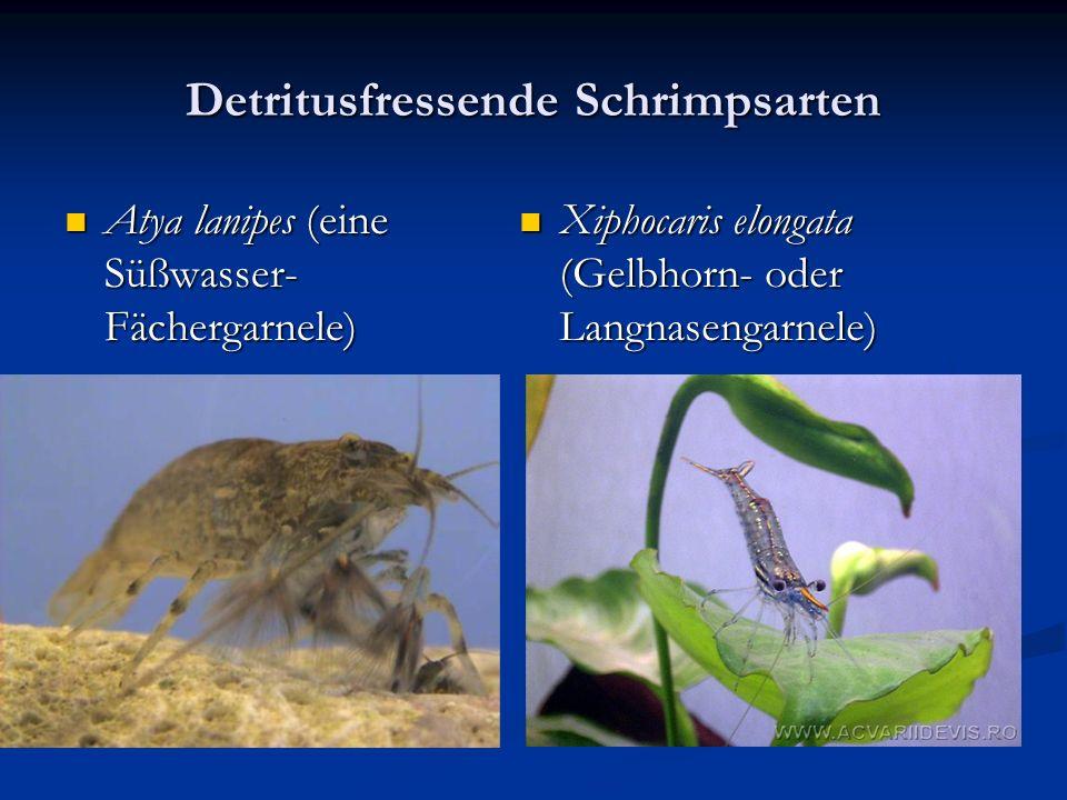 Detritusfressende Schrimpsarten Atya lanipes (eine Süßwasser- Fächergarnele) Atya lanipes (eine Süßwasser- Fächergarnele) Xiphocaris elongata (Gelbhorn- oder Langnasengarnele)