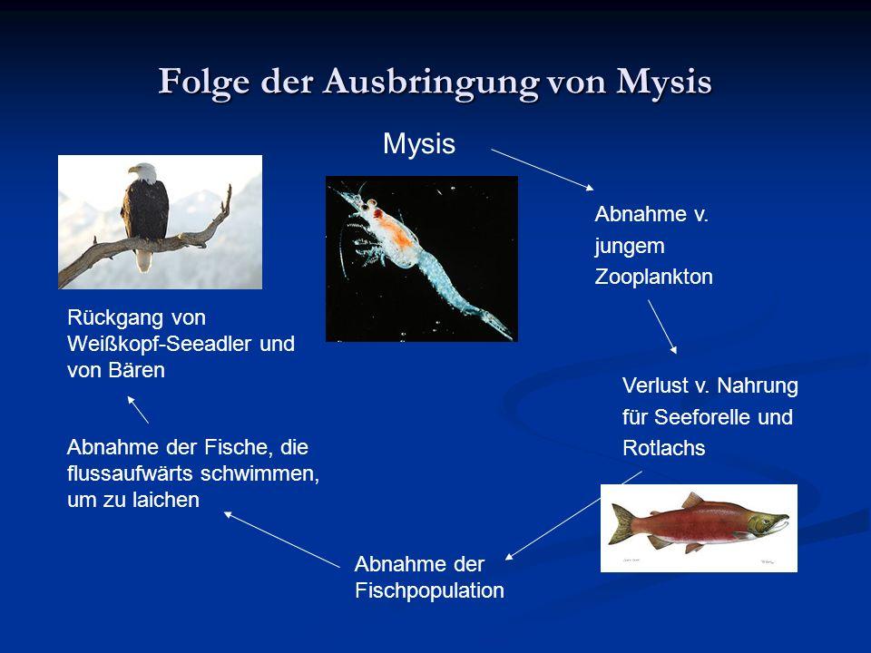 Folge der Ausbringung von Mysis Mysis Verlust v. Nahrung für Seeforelle und Rotlachs Abnahme v.