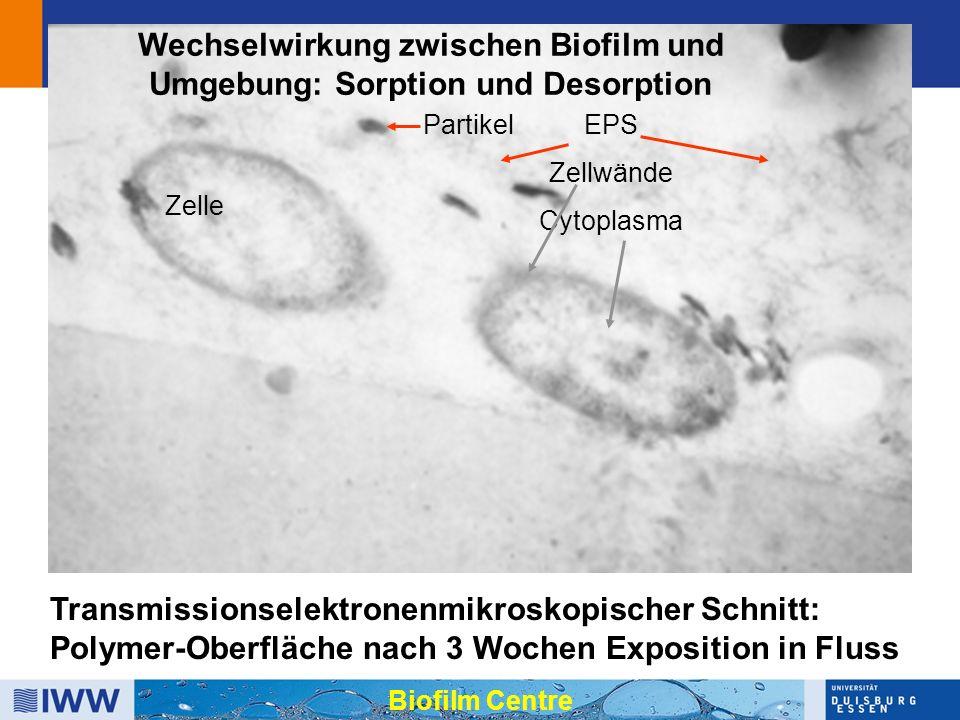 Transmissionselektronenmikroskopischer Schnitt: Polymer-Oberfläche nach 3 Wochen Exposition in Fluss EPS Zellwände Cytoplasma Wechselwirkung zwischen Biofilm und Umgebung: Sorption und Desorption Partikel Biofilm Centre Zelle
