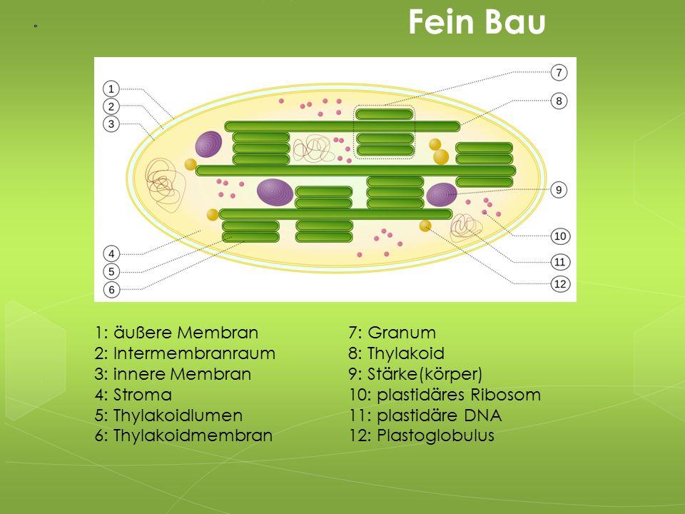 1: äußere Membran 2: Intermembranraum 3: innere Membran 4: Stroma 5: Thylakoidlumen 6: Thylakoidmembran 7: Granum 8: Thylakoid 9: Stärke(körper) 10: p