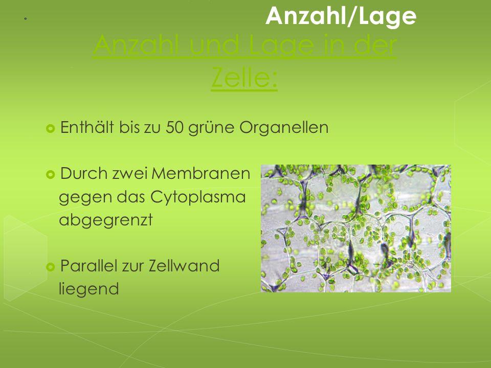 Anzahl und Lage in der Zelle:  Enthält bis zu 50 grüne Organellen  Durch zwei Membranen gegen das Cytoplasma abgegrenzt  Parallel zur Zellwand lieg