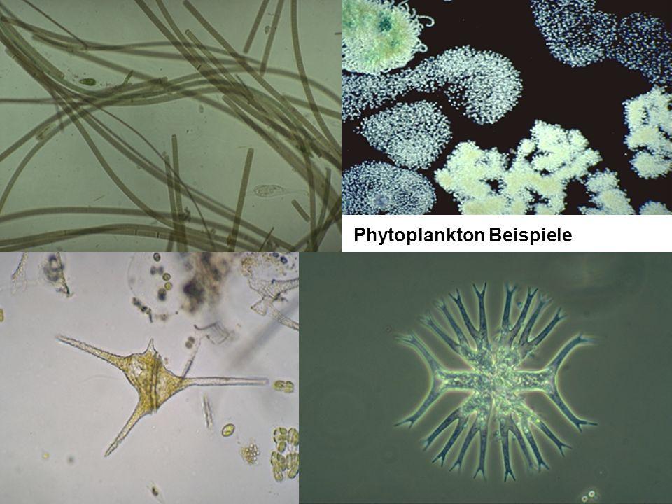 Phytoplankton Beispiele