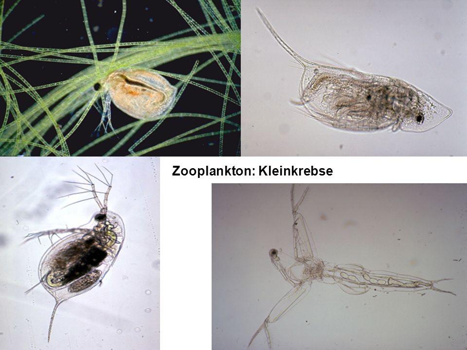 Zooplankton: Kleinkrebse