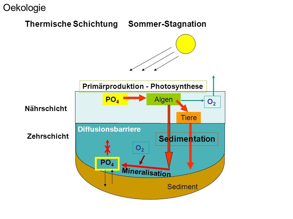 Sediment Algen PO 4 Tiere Mineralisation Oekologie Sedimentation Thermische Schichtung Sommer-Stagnation Nährschicht Zehrschicht PO 4 X Diffusionsbarriere Primärproduktion - Photosynthese O2O2 O2O2