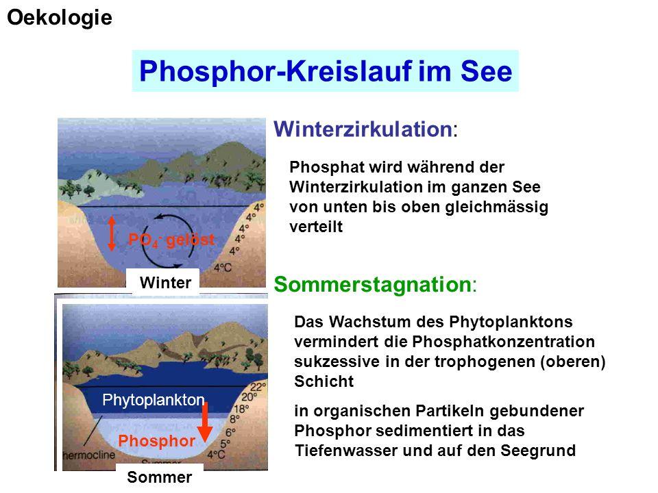 Phosphor-Kreislauf im See FrühjahrSommer Herbst Winter Oekologie PO 4 - gelöst Phosphor Winter Sommer Phosphat wird während der Winterzirkulation im ganzen See von unten bis oben gleichmässig verteilt Phytoplankton Das Wachstum des Phytoplanktons vermindert die Phosphatkonzentration sukzessive in der trophogenen (oberen) Schicht in organischen Partikeln gebundener Phosphor sedimentiert in das Tiefenwasser und auf den Seegrund Winterzirkulation: Sommerstagnation: