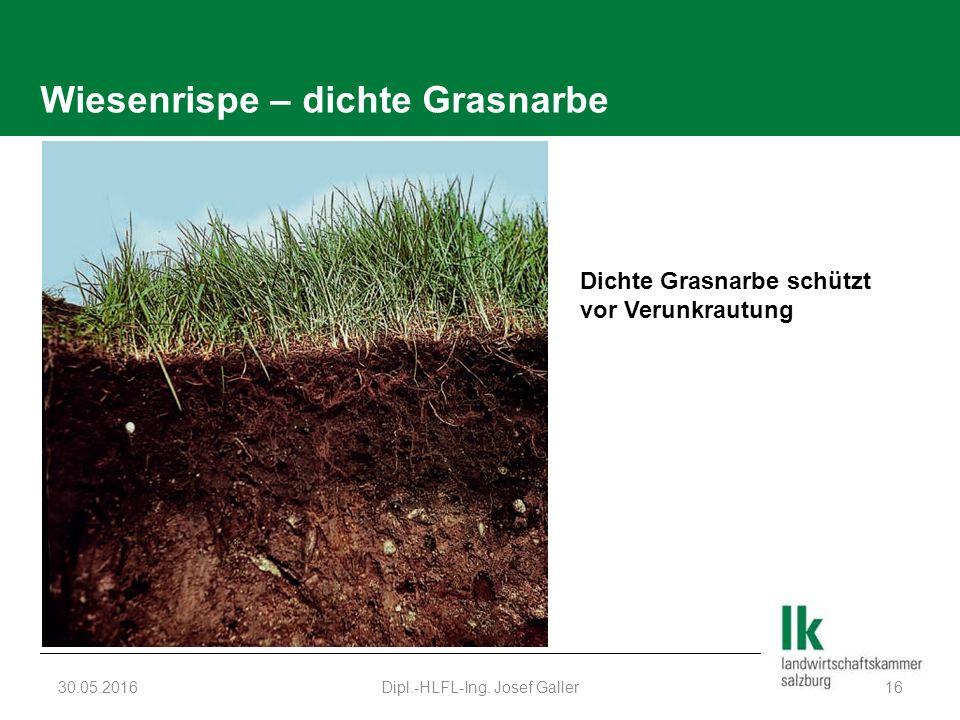 Wiesenrispe – dichte Grasnarbe 30.05.2016Dipl.-HLFL-Ing. Josef Galler16 Dichte Grasnarbe schützt vor Verunkrautung