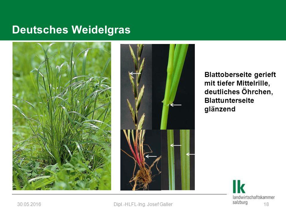 Deutsches Weidelgras 30.05.2016Dipl.-HLFL-Ing.