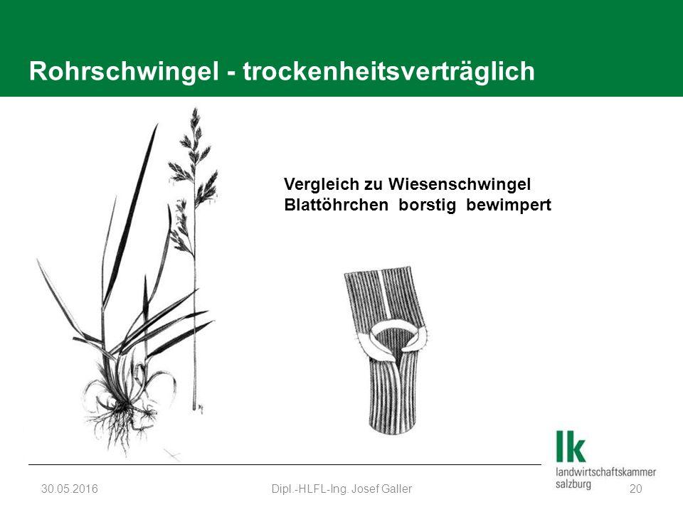 Rohrschwingel - trockenheitsverträglich 30.05.2016Dipl.-HLFL-Ing. Josef Galler20 Vergleich zu Wiesenschwingel Blattöhrchen borstig bewimpert
