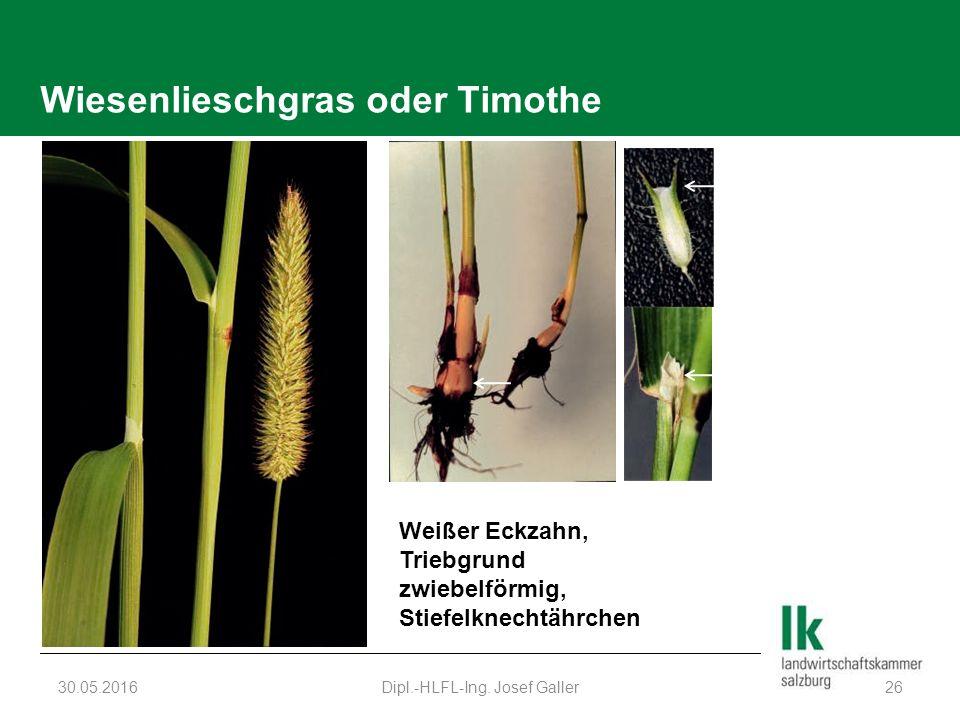 Wiesenlieschgras oder Timothe 30.05.2016Dipl.-HLFL-Ing. Josef Galler26 Weißer Eckzahn, Triebgrund zwiebelförmig, Stiefelknechtährchen