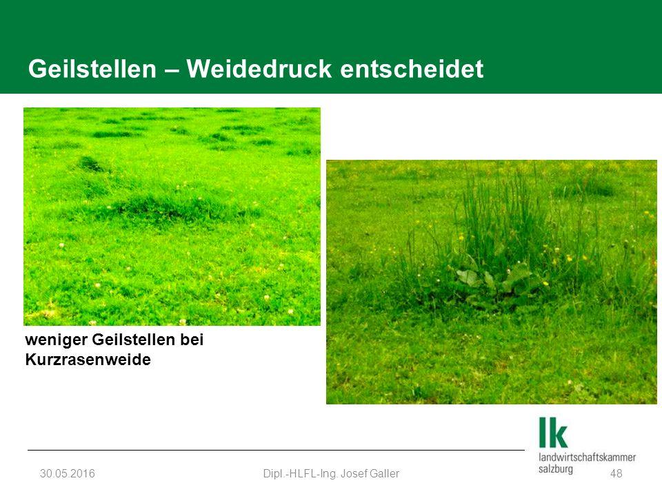 Geilstellen – Weidedruck entscheidet 30.05.2016Dipl.-HLFL-Ing. Josef Galler48 weniger Geilstellen bei Kurzrasenweide