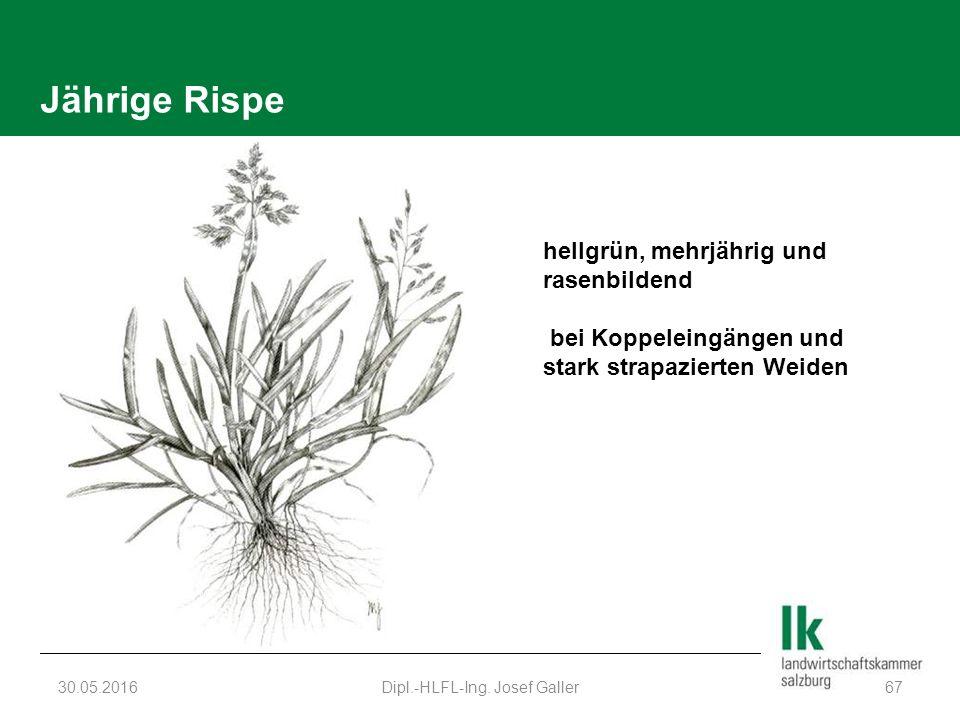 Jährige Rispe 30.05.2016Dipl.-HLFL-Ing. Josef Galler67 hellgrün, mehrjährig und rasenbildend bei Koppeleingängen und stark strapazierten Weiden
