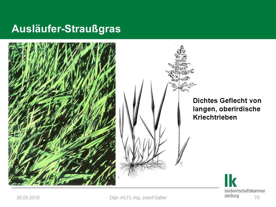 Ausläufer-Straußgras 30.05.2016Dipl.-HLFL-Ing. Josef Galler70 Dichtes Geflecht von langen, oberirdische Kriechtrieben