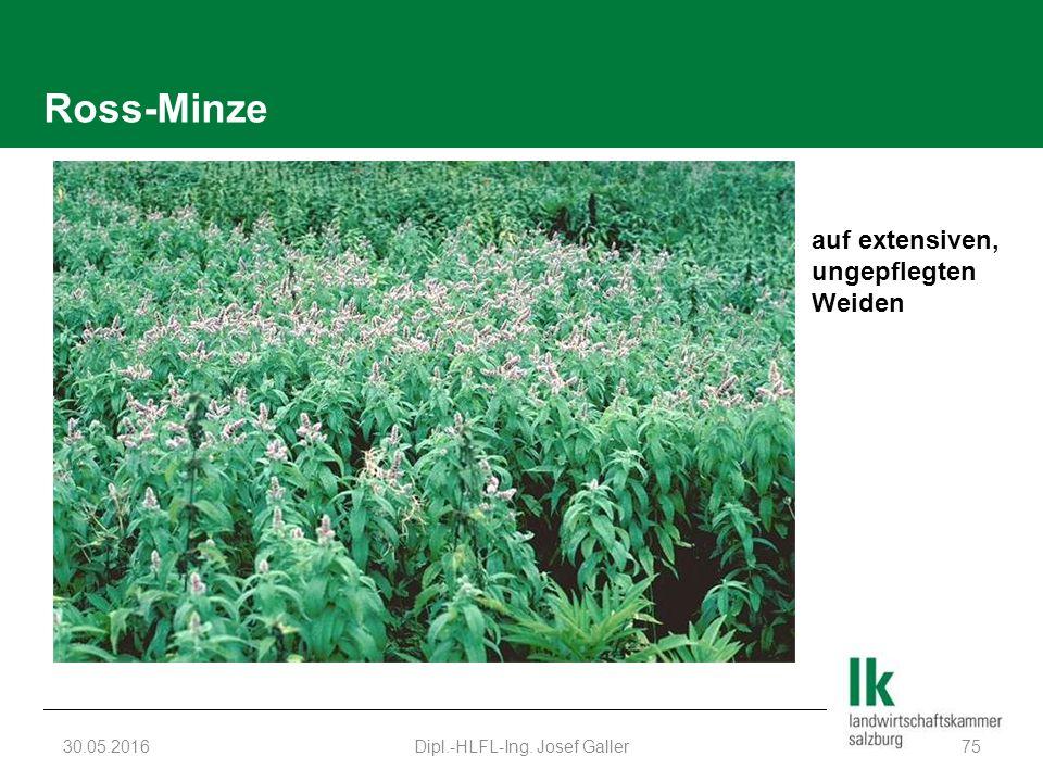 Ross-Minze 30.05.2016Dipl.-HLFL-Ing. Josef Galler75 auf extensiven, ungepflegten Weiden