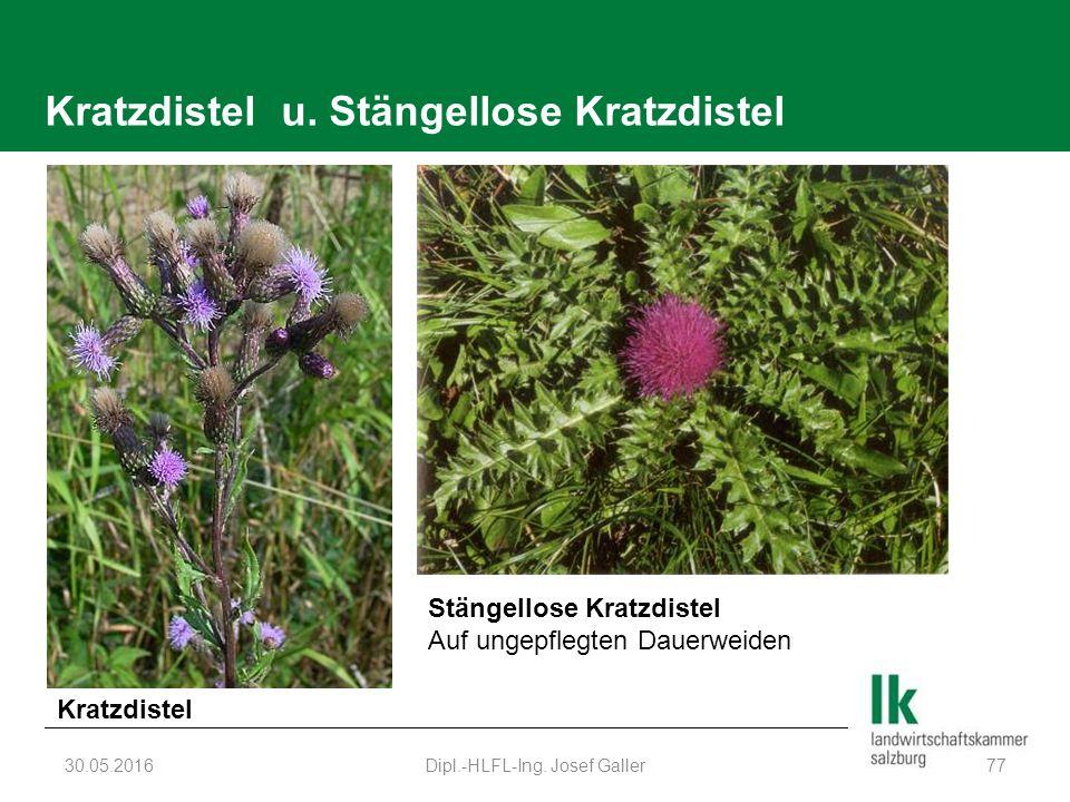Kratzdistel u. Stängellose Kratzdistel 30.05.2016Dipl.-HLFL-Ing.