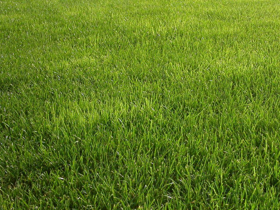 Warum Gras grün ist